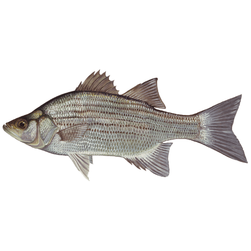 Pickwick Lake's Trophy Fish - Donald Hedge Fishing Guide - White Bass