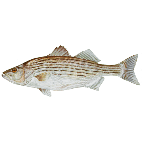 Pickwick Lake's Trophy Fish - Donald Hedge Fishing Guide - Striped Bass