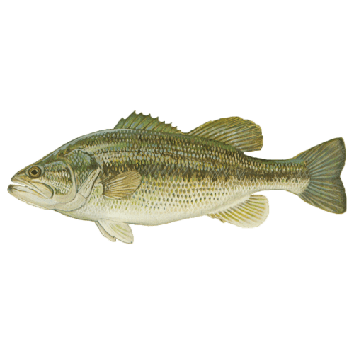 Pickwick Lake's Trophy Fish - Donald Hedge Fishing Guide - Largemouth Bass