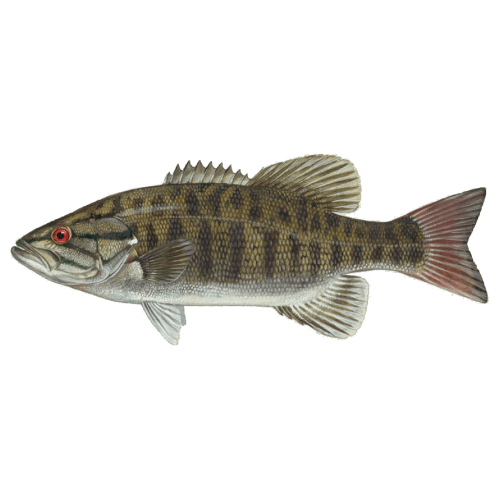 Pickwick Lake's Trophy Fish - Donald Hedge Fishing Guide - Smallmouth Bass