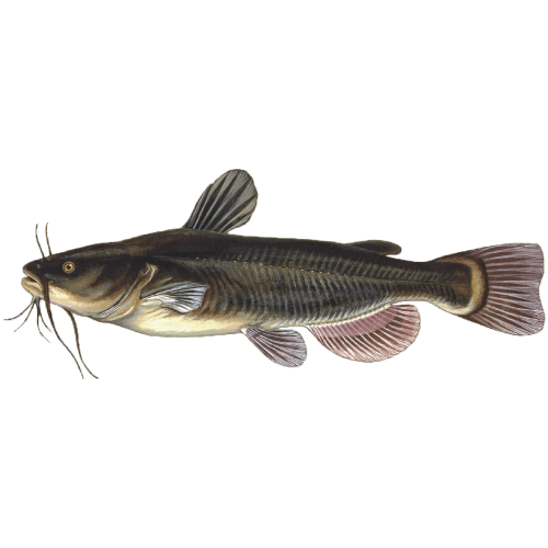 Pickwick Lake's Trophy Fish - Donald Hedge Fishing Guide - Catfish
